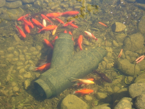 Multifit Wye - The place for my goldfish to hide from the Great Blue Heron