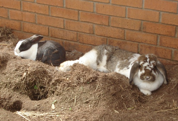 My lazy bunnies, Cadbury and Miss Hudson, laying in the sun in their ourdoor bunny pen.