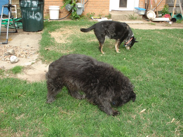 My dogs Nicki and Belty checking the backyard for intruders during the night