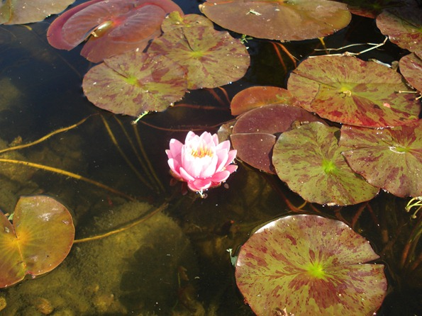 A pink water lily blossom