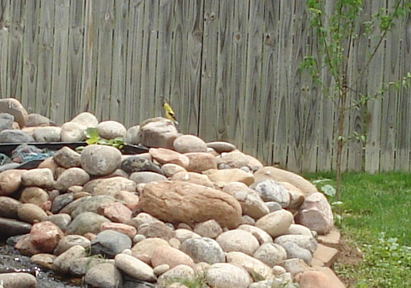 Goldfinch at the waterfall of my goldfish pond