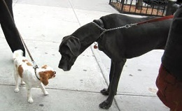 Little brown and white dog with big black dog