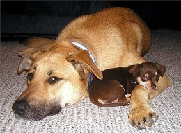 Big brown dog with little brown and tan dog