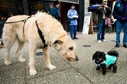 Big tan dog with little black dog